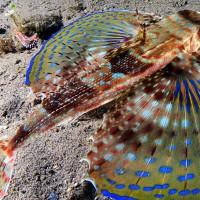 Mare - Fauna - Pesce Civetta (Francesco Turano)