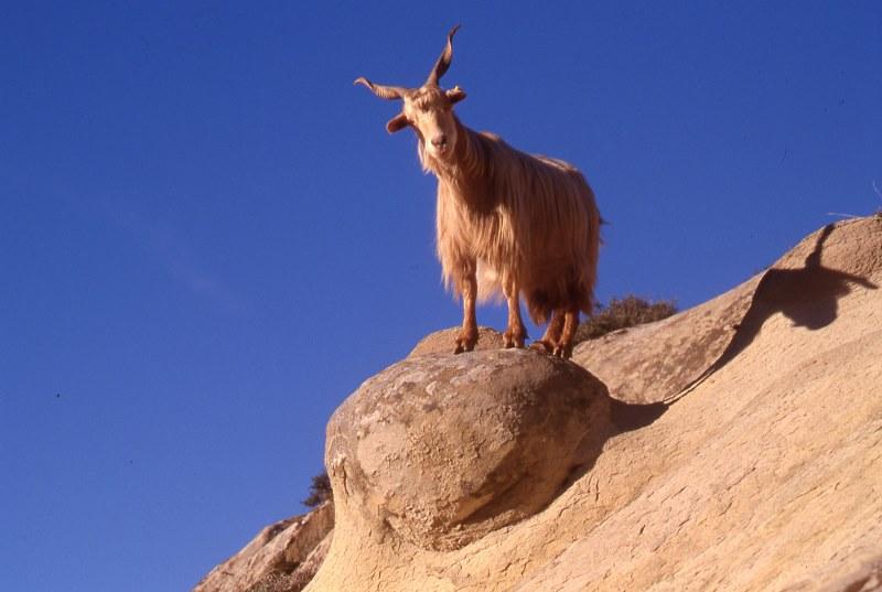 The Aspromonte Goat