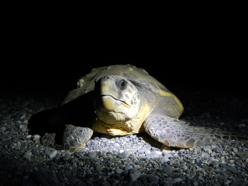 Caretta Caretta Turtle