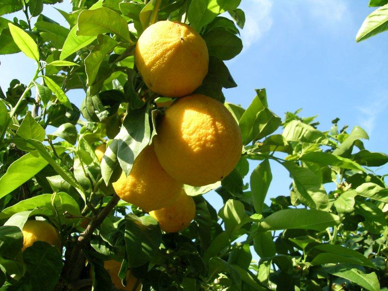 Bergamotto - Frutti 2